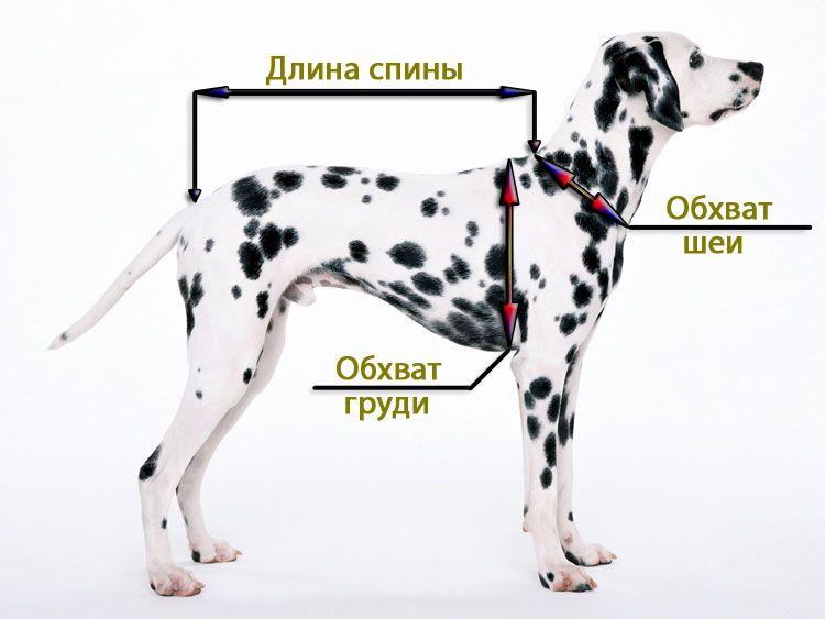 Снятие мерок с собаки, размер одежды для собаки